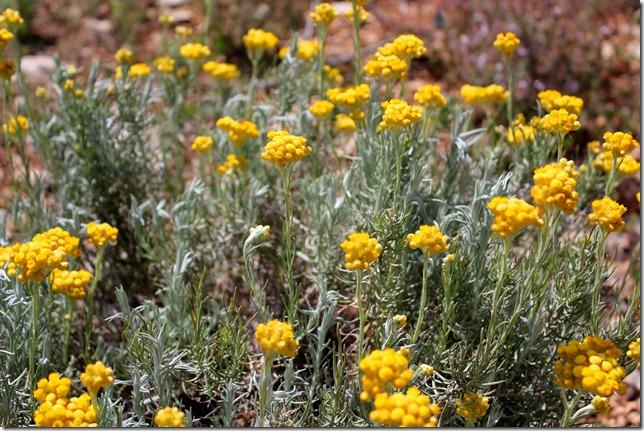 Helichrysum stoechas_1